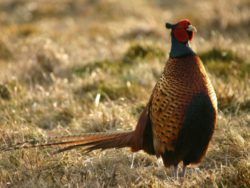 Pheasant in the sun